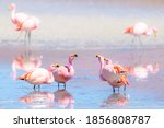 Flamingos Feeding On Pink Lake...