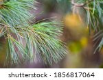 The Soft Green Needles Of An...