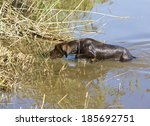 hunting dog in pond | Shutterstock . vector #185692751