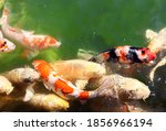 Fancy Carps  Koi Fish  Cyprinu...