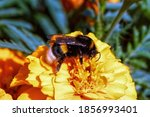A Large Striped Bumblebee...