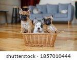 French Bulldog Puppies Sitting...