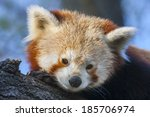 Red Or Lesser Panda  Ailurus...