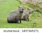Animal Capybara Argentina Ibera ...