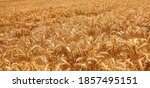 Ripe wheat field background....