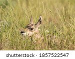 Very Young Pronghorn Fawn...