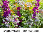 Small photo of Colourful British countryside garden with sweet cicily, English marigold, mallow and many other flowers.