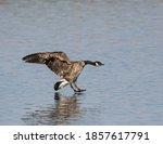 Canada Goose Landing On River