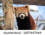 A Cute Red Panda In The Zoo