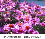 Soft Purple Autumn Daisies...