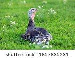 Turkey Bird On Green Grass.