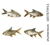 Small photo of Set of Thai Carp Fish or Red Tinfoil Barb (Barbus altus) fish isolated on white background
