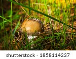 Poisonous Mushroom In The...