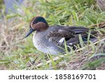 Eurasian Wigeons Resting By The ...