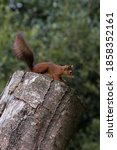 Red Squirrel On Top Of A Tree...