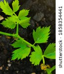 Small photo of Leaf celery(Apium graveolensvar.secalinumAlef.),also calledChinese celeryorNan Ling celery, is avariety ofcelery cultivated in East Asian countries for its edible, flavorfulstalks