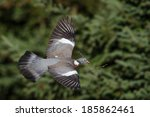 Common Wood Pigeon In Flight...