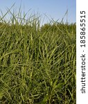 Small photo of Tall wheatgrass (Agropyron, elongatum)