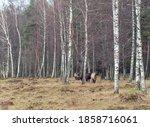 Semi Wild Konik Polski Horses...