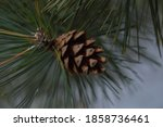 A Beautiful Large Pine Cone On...