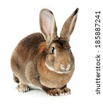 Stock photo brown bunny on white background 185887241