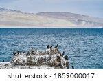 Bird Colony Of Guano Cormorant...