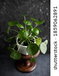 Pilea Peperomioides. Chinese...