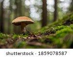 Beautiful Brown Mushroom Groing ...