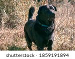 Labrador Retriever Looking Int...