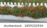 Tagetes Bloom Near White Fence. ...