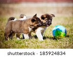 Stock photo adorable american akita puppies playing 185924834