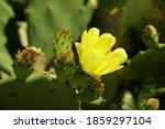 Yellow Flower And Buds Of...