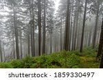 Mountain Spruce Forest. Foggy...