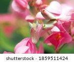 Flower Mantis  Walking Indian...