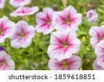 Pink Petunia Flower  Petunia...