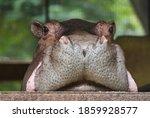 Hippopotamus On A Window...