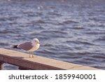 Seagull Portrait In City. Clos...