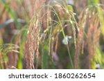 Background Golden Rice Fields...