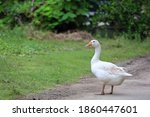 White Female Goose Is Stay In...