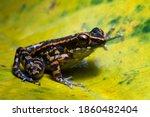 Hylarana Picturata Frog Closeup ...