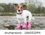 Stock photo dog wearing pink rubber boots 186052094