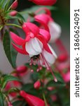 Pink White Fuchsia Macro...
