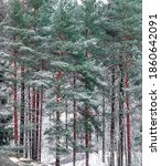 Snowy High Pines Lined Up In A...