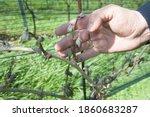 Frost Damage In Wine Plants ...