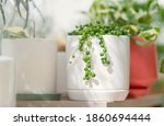 String Of Pearls Plant In White ...