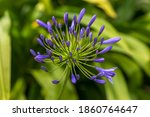 Close Up Of Violet Agapanthus...