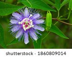 Passionflower Incarnata Aka May ...
