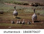 A Family Of Goslings On The...