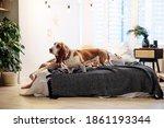 Dog Breed Basset Hound On The...