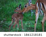 A Female Impala Antelopes...